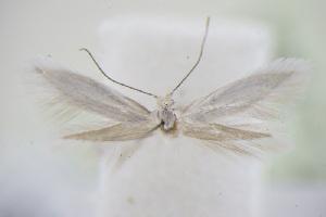 (Elachista nitidulella - BC ZSM Lep 94998)  @11 [ ] by-nc-sa (2016) SNSB, Staatliche Naturwissenschaftliche Sammlungen Bayerns ZSM (SNSB, Zoologische Staatssammlung Muenchen)