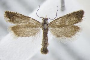 (Grapholita caecana - BC ZSM Lep 95036)  @14 [ ] by-nc-sa (2016) SNSB, Staatliche Naturwissenschaftliche Sammlungen Bayerns ZSM (SNSB, Zoologische Staatssammlung Muenchen)