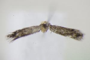 (Stigmella catharticella - BC ZSM Lep 95085)  @12 [ ] by-nc-sa (2016) SNSB, Staatliche Naturwissenschaftliche Sammlungen Bayerns ZSM (SNSB, Zoologische Staatssammlung Muenchen)