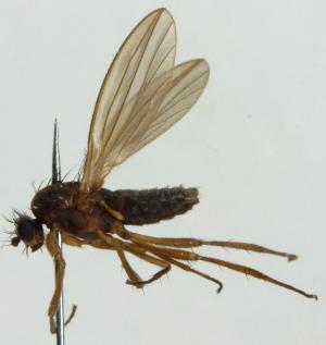 (Lonchoptera nigrociliata - JKA12-0407)  @11 [ ] CreativeCommons - Attribution Non-Commercial (2012) Marko Mutanen University of Oulu