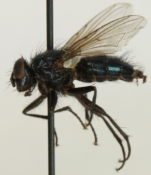 (Melanomyinae - JKA12-0913)  @14 [ ] CreativeCommons - Attribution Non-Commercial (2012) Marko Mutanen University of Oulu