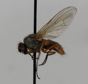 (Lophosceles mutatus - JKA12-1953)  @12 [ ] CreativeCommons - Attribution Non-Commercial No Derivatives (2013) Hanna Koivula Finnish Museum of Natural History