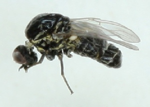 (Mythicomyiidae - MZH_GV.3498)  @13 [ ] CreativeCommons - Attribution Non-Commercial (2012) Marko Mutanen University of Oulu