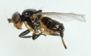 (Pseudopomyzidae - MZH_GV.3506)  @13 [ ] CreativeCommons - Attribution Non-Commercial (2012) Marko Mutanen University of Oulu