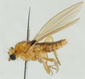 (Lonchoptera scutellata - jka-05-01015)  @11 [ ] CreativeCommons - Attribution Non-Commercial (2012) Marko Mutanen University of Oulu