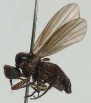 (Opetiidae - jka06-02335)  @11 [ ] CreativeCommons - Attribution Non-Commercial (2012) Marko Mutanen University of Oulu