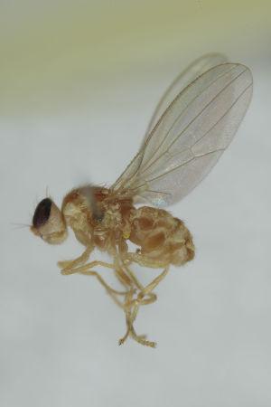 (Gymnochiromyia inermis - MZH_HP.2374)  @11 [ ] CreativeCommons - Attribution Non-Commercial No Derivatives (2014) Hanna Koivula Finnish Museum of Natural History