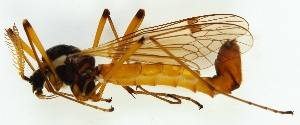 (Ctenophorinae - JES-20120341)  @13 [ ] CreativeCommons - Attribution Non-Commercial (2012) Marko Mutanen University of Oulu