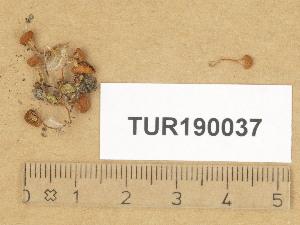 (Agaricomycetes - TUR190037)  @11 [ ] Copyright (2014) Diana Weckman Botanical Museum, Finnish Museum of Natural History, University of Helsinki