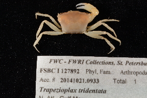 (Pseudorhombilidae - FSBCI127892)  @11 [ ] by-nc-sa (2017) Unspecified Fish and Wildlife Research Institute