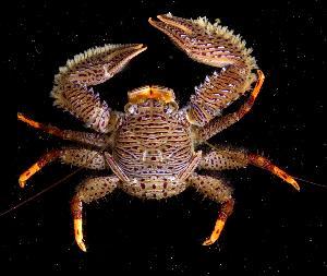 (Porcellanidae - BFLA-101)  @15 [ ] Copyright (2008) Gustav Paulay Florida Musuem of Natural History