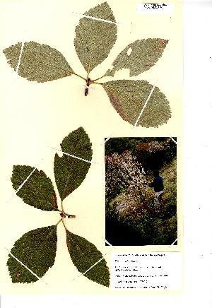 (Sorbus wilmottiana - NMW8196)  @11 [ ] CreativeCommons - Attribution (2012) National Museum Wales National Museum Wales