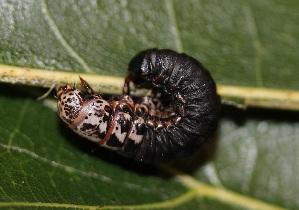 ( - FRC12186)  @11 [ ] by-nc-sa (2017) Carlo L. Seifert Institute of Entomology, Biology Centre CAS, Ceske Budejovice