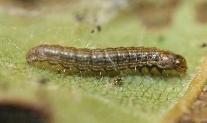 (Pococera sp. 4 - FRC12939)  @11 [ ] by-nc-sa (2017) Carlo L. Seifert Institute of Entomology, Biology Centre CAS, Ceske Budejovice
