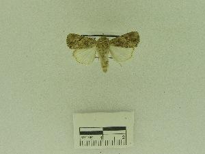 (Spodoptera pecten - USNM ENT 00666511)  @12 [ ] Unspecified (default): All Rights Reserved  Unspecified Unspecified