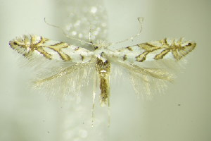 (Phyllonorycter geniculella - BC ZSM Lep 76457)  @14 [ ] CreativeCommons - Attribution Non-Commercial Share-Alike (2015) SNSB, Zoologische Staatssammlung Muenchen SNSB, Zoologische Staatssammlung Muenchen