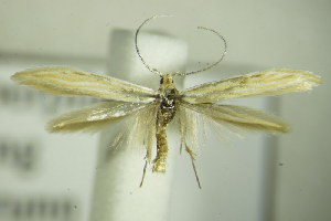 (Coleophora linosyridella - BC ZSM Lep 76811)  @14 [ ] Unspecified (default): All Rights Reserved  Unspecified Unspecified