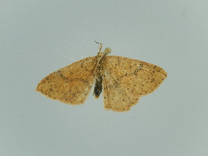 (Cyclophora hyponoea - BC ZSM Lep 65289)  @14 [ ] CreativeCommons - Attribution Non-Commercial Share-Alike (2014) Axel Hausmann SNSB, Zoologische Staatssammlung Muenchen
