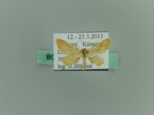 (Idaea purpurariata - BC ZSM Lep 65298)  @12 [ ] CreativeCommons - Attribution Non-Commercial Share-Alike (2014) Axel Hausmann SNSB, Zoologische Staatssammlung Muenchen