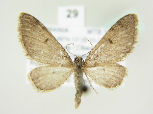 (Eupithecia indigata - BC ZSM Lep 81925)  @14 [ ] CreativeCommons - Attribution Non-Commercial Share-Alike (2014) Axel Hausmann SNSB, Zoologische Staatssammlung Muenchen