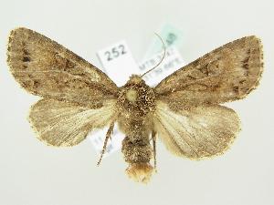 (Apterogenum ypsillon - BC ZSM Lep 82148)  @14 [ ] CreativeCommons - Attribution Non-Commercial Share-Alike (2014) Axel Hausmann SNSB, Zoologische Staatssammlung Muenchen