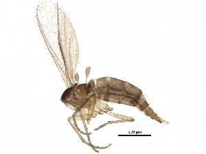 (Corynoptera semisaccata - BIOUG26239-C12)  @13 [ ] CreativeCommons - Attribution Non-Commercial Share-Alike (2016) CBG Photography Group Centre for Biodiversity Genomics