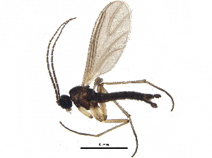 (Corynoptera tridentata - BIOUG26240-C06)  @14 [ ] CreativeCommons - Attribution Non-Commercial Share-Alike (2016) CBG Photography Group Centre for Biodiversity Genomics