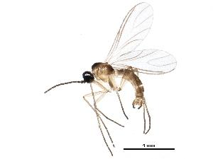 (Corynoptera flava - BIOUG26143-B06)  @15 [ ] CreativeCommons - Attribution Non-Commercial Share-Alike (2016) CBG Photography Group Centre for Biodiversity Genomics