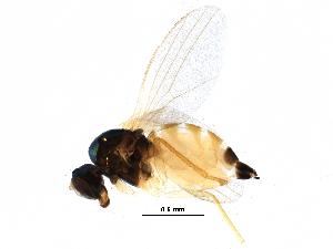 (Peloropeodinae - BIOUG21710-B10)  @15 [ ] CreativeCommons - Attribution Non-Commercial Share-Alike (2015) CBG Photography Group Centre for Biodiversity Genomics