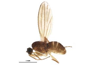 (Lonchoptera tristis - BIOUG21877-E06)  @14 [ ] CreativeCommons - Attribution Non-Commercial Share-Alike (2015) CBG Photography Group Centre for Biodiversity Genomics