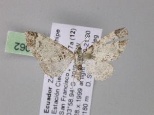 (Eupithecia albirasaAH03Ec - BC ZSM Lep 04062)  @13 [ ] CreativeCommons - Attribution Non-Commercial Share-Alike (2010) Axel Hausmann SNSB, Zoologische Staatssammlung Muenchen