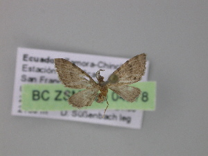 (Eupithecia AH28Ec - BC ZSM Lep 04278)  @14 [ ] CreativeCommons - Attribution Non-Commercial Share-Alike (2010) Axel Hausmann SNSB, Zoologische Staatssammlung Muenchen
