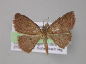 (Cyclophora megista - BC ZSM Lep 03997)  @14 [ ] CreativeCommons - Attribution Non-Commercial Share-Alike (2010) Axel Hausmann SNSB, Zoologische Staatssammlung Muenchen
