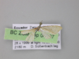 ( - BC ZSM Lep 04197)  @12 [ ] CreativeCommons - Attribution Non-Commercial Share-Alike (2010) Axel Hausmann SNSB, Zoologische Staatssammlung Muenchen