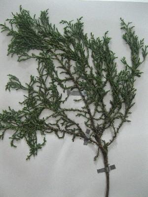 (Cupressus arizonica - NIBGE-GCUBG-271)  @11 [ ] CreativeCommons - Attribution Non-Commercial Share-Alike (2011) Zaheer Khan GC University Lahore, Pakistan
