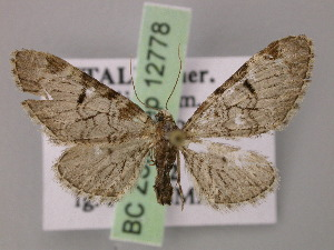 (Eupithecia insigniata - BC ZSM Lep 12778)  @14 [ ] CreativeCommons - Attribution Non-Commercial Share-Alike (2010) Axel Hausmann SNSB, Zoologische Staatssammlung Muenchen