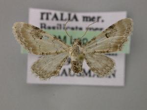 (Eupithecia centaureata - BC ZSM Lep 12782)  @15 [ ] CreativeCommons - Attribution Non-Commercial Share-Alike (2010) Axel Hausmann SNSB, Zoologische Staatssammlung Muenchen