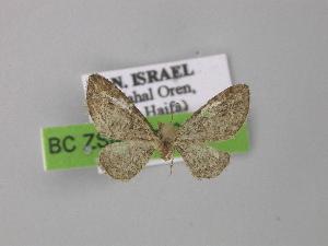 (Eupithecia reisserata levarii - BC ZSM Lep 00422)  @13 [ ] CreativeCommons - Attribution Non-Commercial Share-Alike (2010) Axel Hausmann SNSB, Zoologische Staatssammlung Muenchen