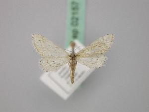 (Idaea longaria longaria - BC ZSM Lep 02157)  @13 [ ] CreativeCommons - Attribution Non-Commercial Share-Alike (2010) Axel Hausmann SNSB, Zoologische Staatssammlung Muenchen