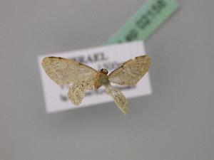 (Idaea inquinata - BC ZSM Lep 02158)  @13 [ ] CreativeCommons - Attribution Non-Commercial Share-Alike (2010) Axel Hausmann SNSB, Zoologische Staatssammlung Muenchen