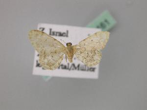 (Idaea inquinata adherbariata - BC ZSM Lep 02161)  @13 [ ] CreativeCommons - Attribution Non-Commercial Share-Alike (2010) Axel Hausmann SNSB, Zoologische Staatssammlung Muenchen