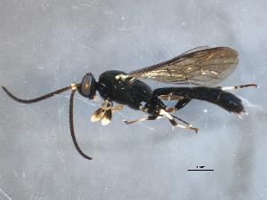 (Ichneumonidae - BIOUG13185-G05)  @16 [ ] CreativeCommons - Attribution Non-Commercial Share-Alike (2014) CBG Photography Group Centre for Biodiversity Genomics