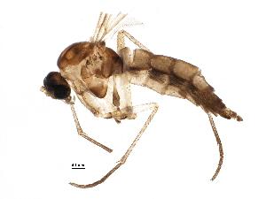 (Pseudolycoriella villabonensis - BIOUG13311-G10)  @11 [ ] CreativeCommons - Attribution Non-Commercial Share-Alike (2015) CBG Photography Group Centre for Biodiversity Genomics