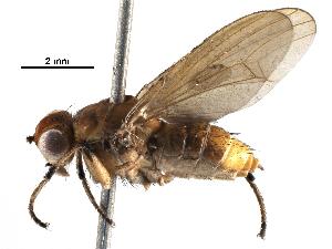 (Helosciomyzidae - BIOUG28451-G03)  @11 [ ] CreativeCommons - Attribution Non-Commercial Share-Alike (2016) CBG Photography Group Centre for Biodiversity Genomics