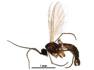 (Corynoptera alticola - BIOUG14950-A04)  @13 [ ] CreativeCommons - Attribution Non-Commercial Share-Alike (2016) CBG Photography Group Centre for Biodiversity Genomics
