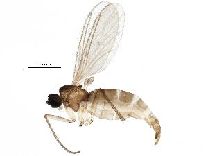 (Corynoptera umbrata - BIOUG14987-B02)  @14 [ ] CreativeCommons - Attribution Non-Commercial Share-Alike (2015) CBG Photography Group Centre for Biodiversity Genomics