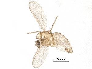 (Diptera_family_incertae_sedis - BIOUG31580-C01)  @11 [ ] CreativeCommons - Attribution Non-Commercial Share-Alike (2018) CBG Photography Group Centre for Biodiversity Genomics