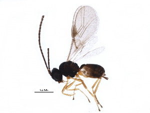 (Opiinae - BIOUG17842-D05)  @15 [ ] CreativeCommons - Attribution Non-Commercial Share-Alike (2015) CBG Photography Group Centre for Biodiversity Genomics