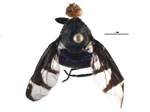 (Platystomatidae - BIOUG14399-B05)  @15 [ ] CreativeCommons - Attribution Non-Commercial Share-Alike (2015) CBG Photography Group Centre for Biodiversity Genomics