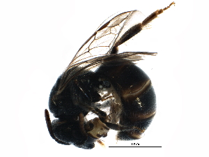 (Lasioglossum mesosclerum - BIOUG14467-H04)  @14 [ ] CreativeCommons - Attribution Non-Commercial Share-Alike (2015) CBG Photography Group Centre for Biodiversity Genomics